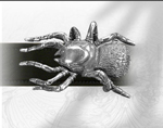 Alchemy belt buckle B23  BLACK  WIDOW SPIDER